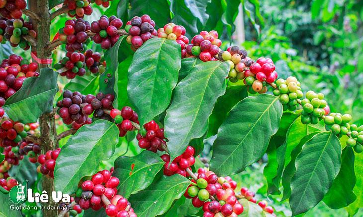 cà phê mít là gì